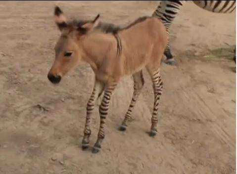 Khumba the zonkey has a zebra mother and