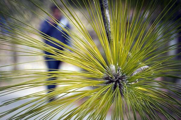 A women strolling past a Longleaf Pine tree