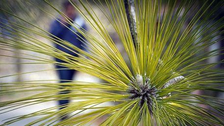 A women strolling past a Longleaf Pine tree