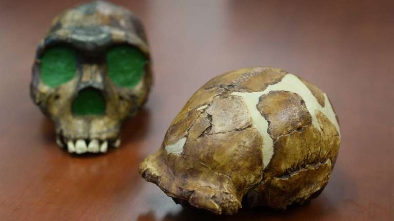 A casting of a skull that dates from