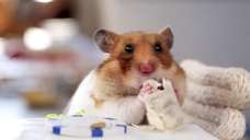 A hamster enjoys his tiny burrito.