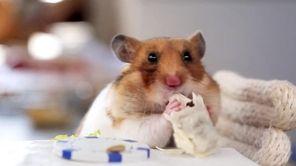 A hamster enjoys his tiny burrito.