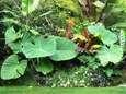 Colocasia and other tropical foliage; experts advise starting