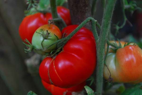 The 8th annual Great Long Island Tomato Challenge