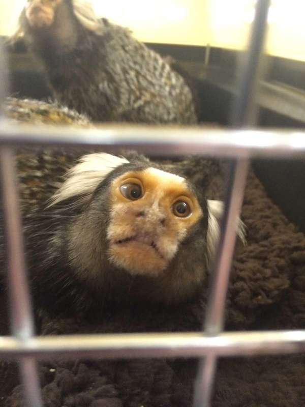 One of two marmoset monkeys turned in during