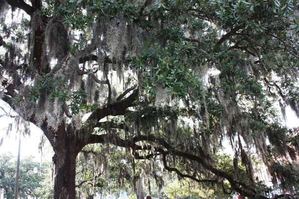 Spanish moss hangs from beautiful live oaks in