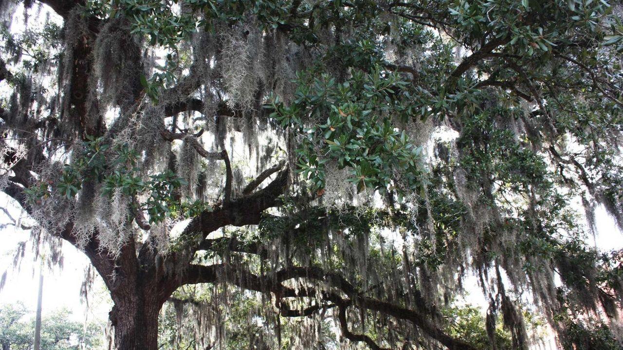 Spanish moss hangs from beautiful live oaks in