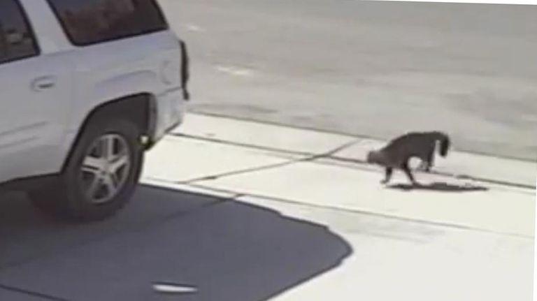 A house cat runs after a dog after
