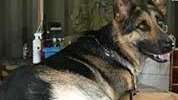 With training, 2 dogs smelled urine samples and