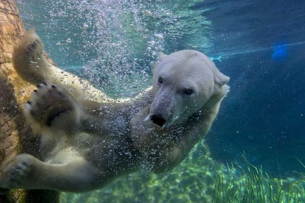 The Polar Bear Plunge at San Diego Zoo