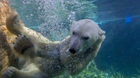 The Polar Bear Plunge at San Diego Zoo
