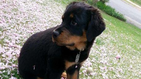 Bear, a rottweiler puppy seen in an undated