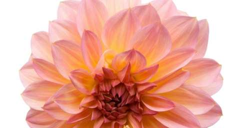 The shape and size of dahlias vary, and