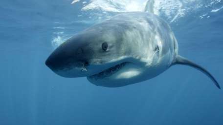A great white shark, near Guadalupe Island off