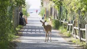 A deer walks through Ocean Bay Park on