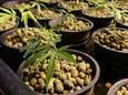 Marijuana plants in containers at Sea of Green
