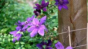 Planting vines, such as this clematis, in containers