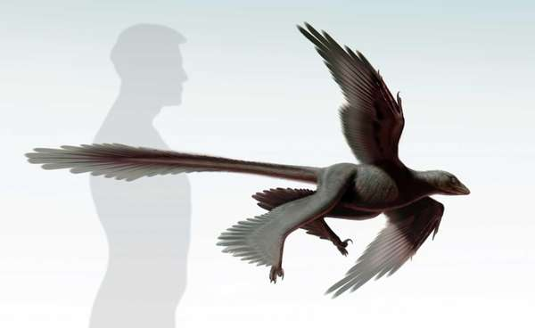 A four-winged, meat-eating dinosaur with long tail feathers