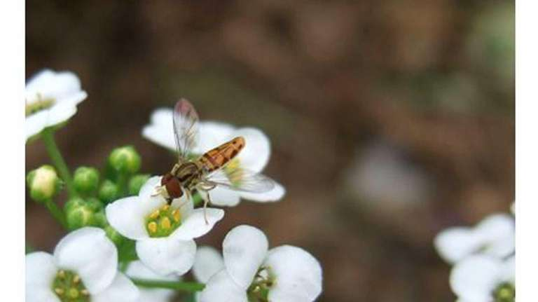 Syrphid flies are often mistaken for bees.