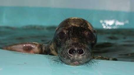 Birdie, a gray seal pup who was rescued