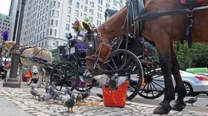 A carriage horse feeds on a bucket of
