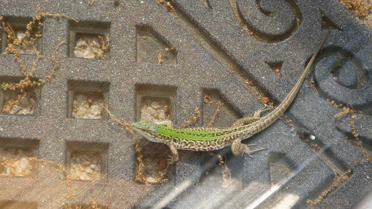 Italian wall lizards in Babylon