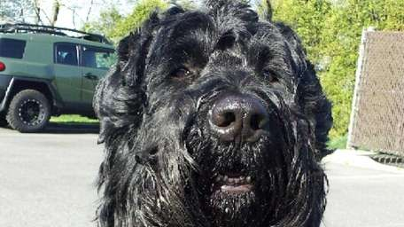 Yuri, a Black Russian terrier, was swept away