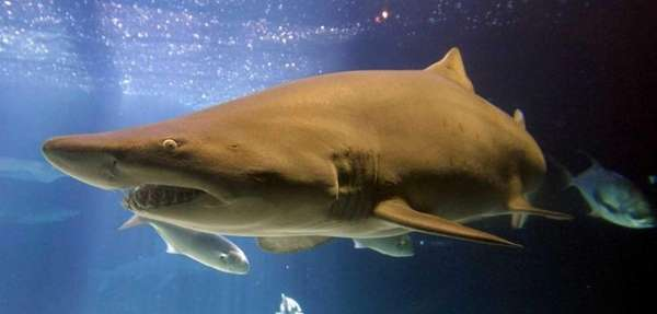 Shark Week 2014 runs until Saturday, Aug. 16,