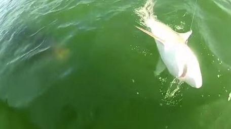 A goliath grouper encroaches on a shark caught