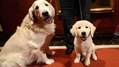 Year after year, the golden retriever is consistently