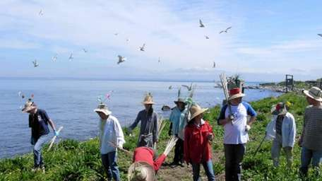Great Gull Island project volunteers organize a line