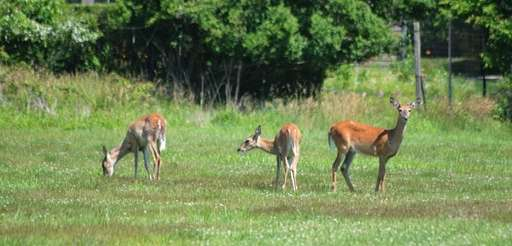 Deer seen in a field off of Apaquogue
