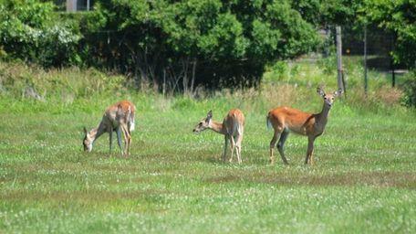 Deer seen in a field off of Apaquogue