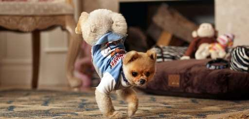 Jiff, a 4-year-old Pomeranian, walks on his two
