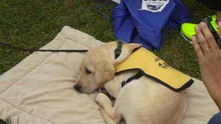 A future guide dog from the Guide Dog
