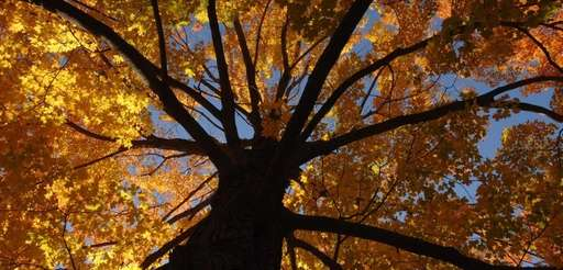 Fall leaves of a large maple on the