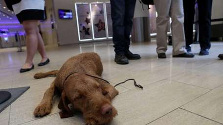 Falko is a 13-month-old Wirehaired Vizsla, one of