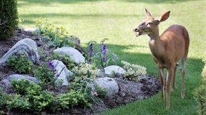 A deer wanders in Kathi King's front lawn.