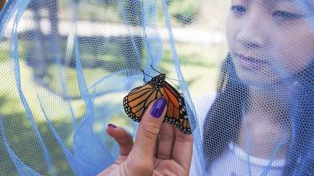 A 4th generation monarch butterfly gets wrangled in
