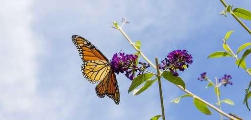 A 4th generation monarch butterfly latches on to