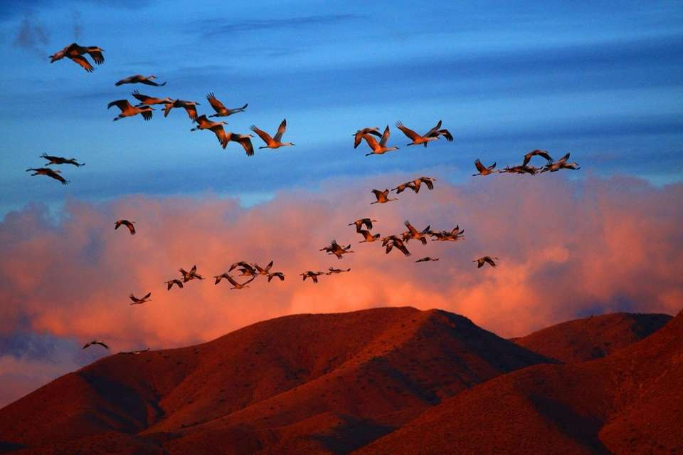 Flights of sandhill cranes arrive daily to the
