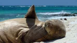 A Hawaiian monk seal yearling takes care of