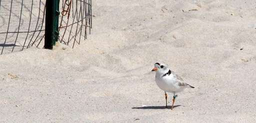 A piping plover guards its nest outside an