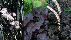 These three black perennials are perfect to plant