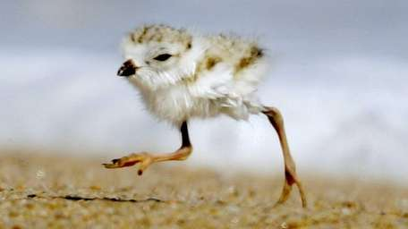 A two-day-old piping plover runs along a beach
