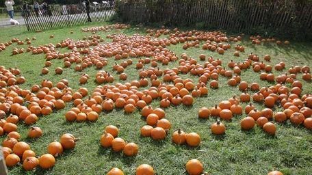 Pumpkin picking.
