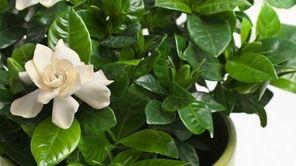 Gardenia (Gardenia jasminoides) in a flower pot.