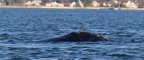 A rare North Atlantic right whale was sighted