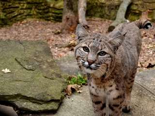 Suradi is a female bobcat at the Town