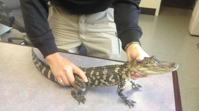 An alligator was surrendered to SPCA officials during